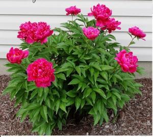 Cung cấp các loại giống hoa trồng tết, hoa mẫu đơn trồng tết 2018