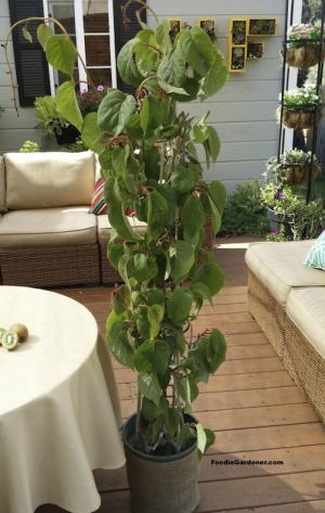 cây giống  kiwi nhập khẩu