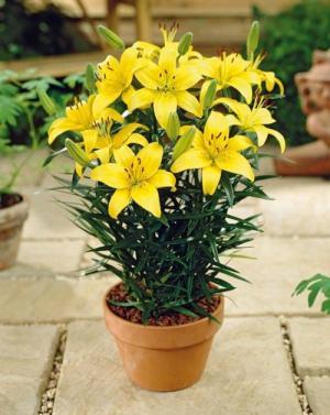Cung cấp các loại củ hoa giống trồng tết 2018, hoa ly số lượng lớn