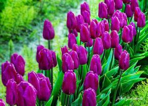 củ giống hoa tuylip