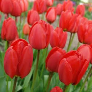 Giống hoa tuylip hà lan