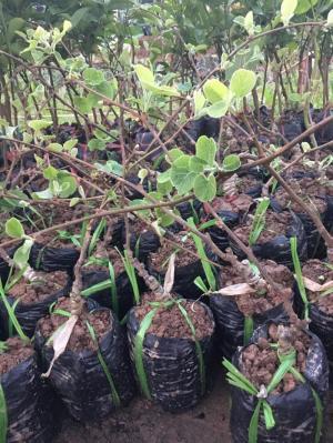 Cung cấp cây giống Kiwi chất lượng cao