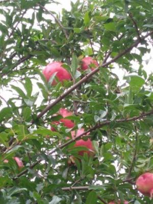 Cung cấp cây giống lựu đỏ lùn ấn độ