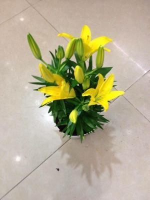 Kĩ thuật trồng và chăm sóc hoa ly lùn, địa chỉ cung cấp củ giống hoa ly lùn, ly lùn không thơm chuẩn, uy tín
