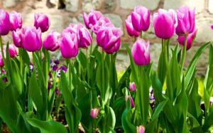 cC giống hoa tuylip