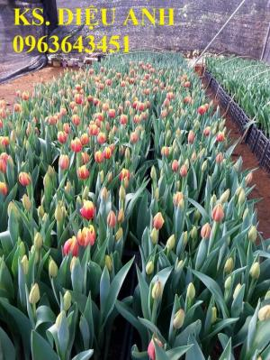 Địa chỉ cung cấp củ giống hoa tuylip, cây giống hoa tuylip, hoa tuylip thương phẩm chuẩn