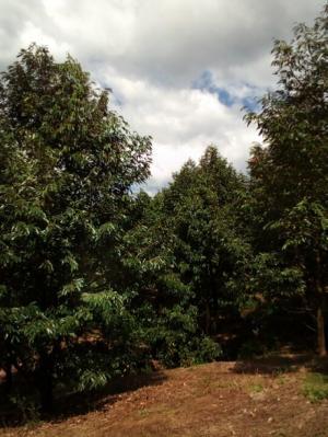 Cần bán vườn cây ăn trái sầu riêng măng cụt