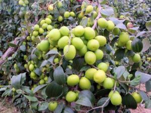 Giống cây táo chua