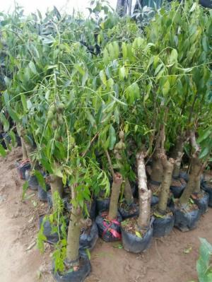 Cung cấp giống cây cóc thái số lượng lớn chất lượng uy tín