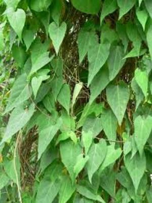 Cung cấp các loại giống cây dược liệu, giống cây hà thủ ô số lượng lớn, hà thủ ô đỏ