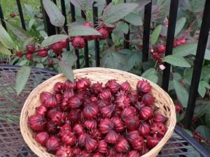 Hoa Atiso đỏ Bình Thuận giá rẻ, tặng dụng cụ lấy hạt
