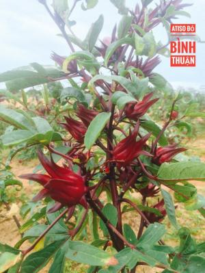 Atiso đỏ-hoa bụp giấm-hoa hibiscus sỉ và lẻ