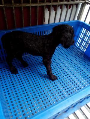 Binh thanh p25 Tin đăng không đầy đủ thông tin chi tiết về Địa chỉ giao dịch - Chó Poodle thuần chủng cần bán