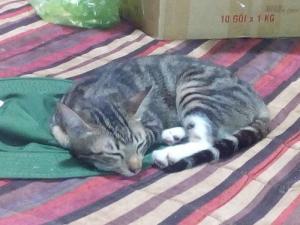 Bán mèo Anh lông ngắn