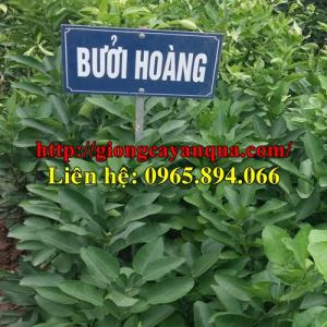 Cung cấp, bán giống Bưởi Hoàng - Đại học Nông nghiệp 1 Hà Nội
