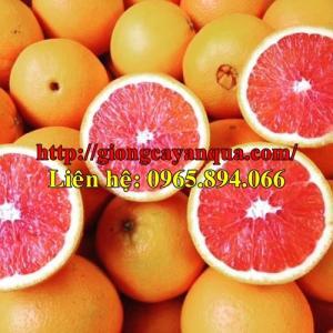 Giống Cam Cara ruột đỏ, cam cara ruột đỏ không hạt, bán giống cam cara ruột đỏ