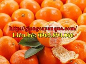Giống cam đường canh, bán giống cam đường, giống quýt ngọt
