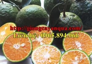 Bán giống cây cam sành, giống cam sành, cam sành giống, giống cam sành Hà Giang, cam sành Hàm Yên