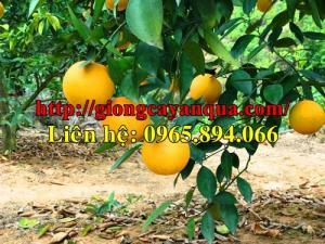 Cung cấp giống cam v2, cây giống cam v2, cam v2 giống, cây cam giống