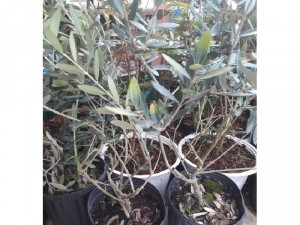 Bán cây oliu