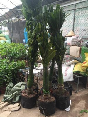 cây lớn trồng công trình