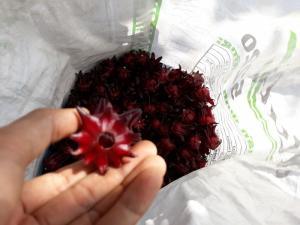 Dụng cụ thụt hạt Atiso Đỏ