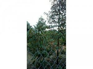 Cần bán gấp vừơn cây ăn qủa sầu riêng