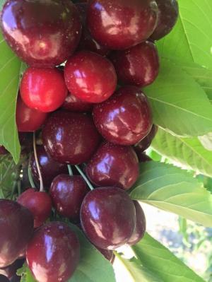 Cherry đỏ Úc 599k KLEVER FRUITS