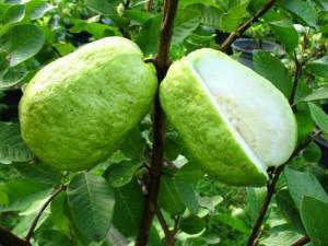Địa chỉ cung cấp giống cây ăn quả, giống ổi lê, ổi lê Đài Loan