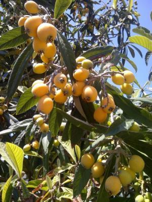 Địa chỉ cung cấp giống cây nhập khẩu, giống cây biwa, cây mận nhật số lượng lớn