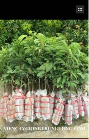 Địa chỉ cung cấp cây giống tốt, khỏe mạnh, giống vải không hạt