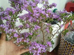Linh sam siêu hoa 30 tháng tuổi