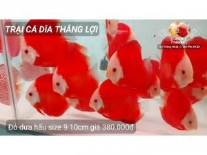 Cá dĩa đỏ dưa hấu