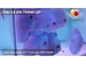 Cá dĩa Lam Đức