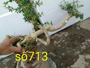 Cây linh sam 86 số711 đến 715