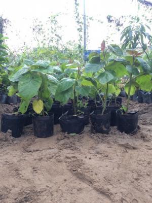 Địa chỉ cung cấp giống cây cà chua thân gỗ uy tín, chất lượng