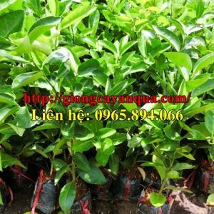 Bán giống chanh không hạt - Đại học Nông nghiệp Hà Nội