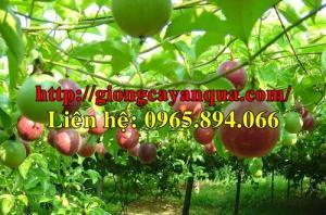 Cung cấp giống chanh leo Đài Loan, cây chanh dây tím, cây chanh leo nhập khẩu