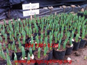 Củ Giống Hoa Tuylip, củ giống uy tín chất lượng