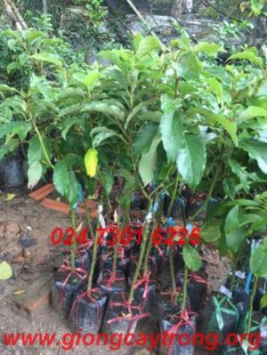 Chuyên cung cấp sỉ lẻ cây Bơ Sáp, cây ăn qủa uy tín chất lượng