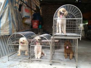 Nhận phối giống chó Poodle các mầu