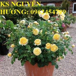 Bán giống hoa hồng charlotte rose