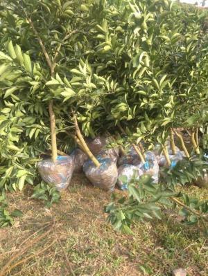 Giống cây cam choai, bưởi choai, cây giống F1, sạch bệnh, số lượng lớn, giao hàng toàn quốc