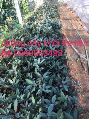 Bán giống cây khôi nhung (khôi tía)uy tín giá rẻ nhất