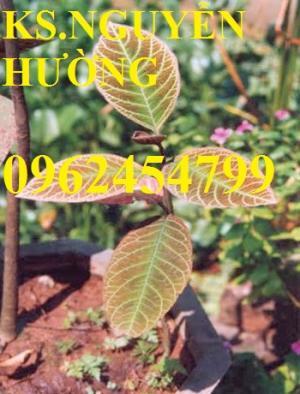 Địa chỉ bán giống cây dược liệu, cây khôi nhung, lá khôi nhung chữa bệnh