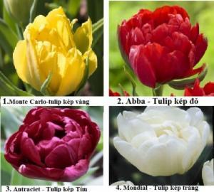 các loại tulip kép