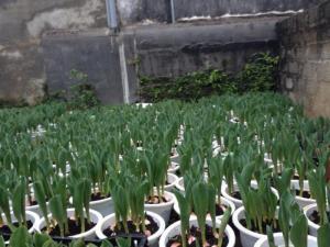 Bán buôn bán lẻ tulip, tulip kép