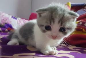 HCM Tìm chủ cho các bé Mèo Chân Ngắn Tai Cụp Munchkin Fold con bố Gấu siêu phẩm