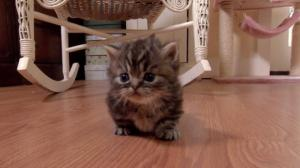 HCM Tìm chủ cho đàn mèo chân ngắn và chân ngắn tai cụp cực phẩm