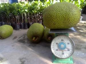 Chuyên cung cấp Giống mít thái ruột đỏ, giống mít không hạt, mít thái, mít trái dài malaysia